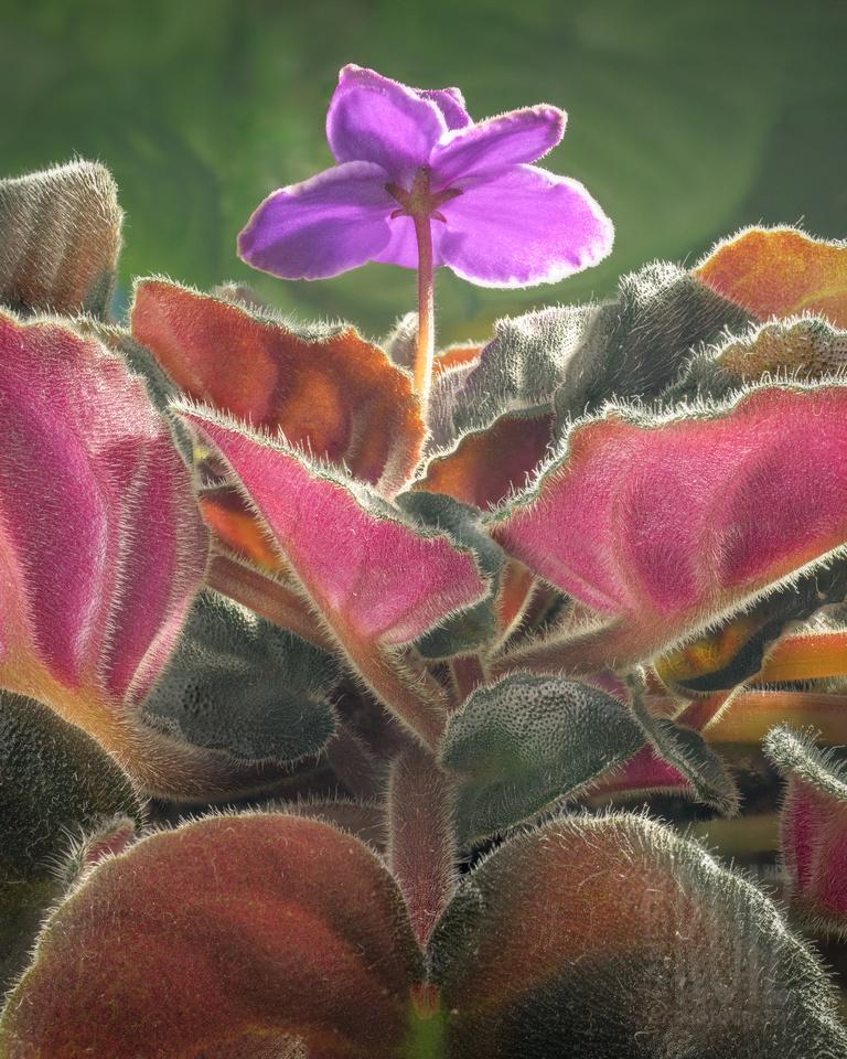 Velvet Violet