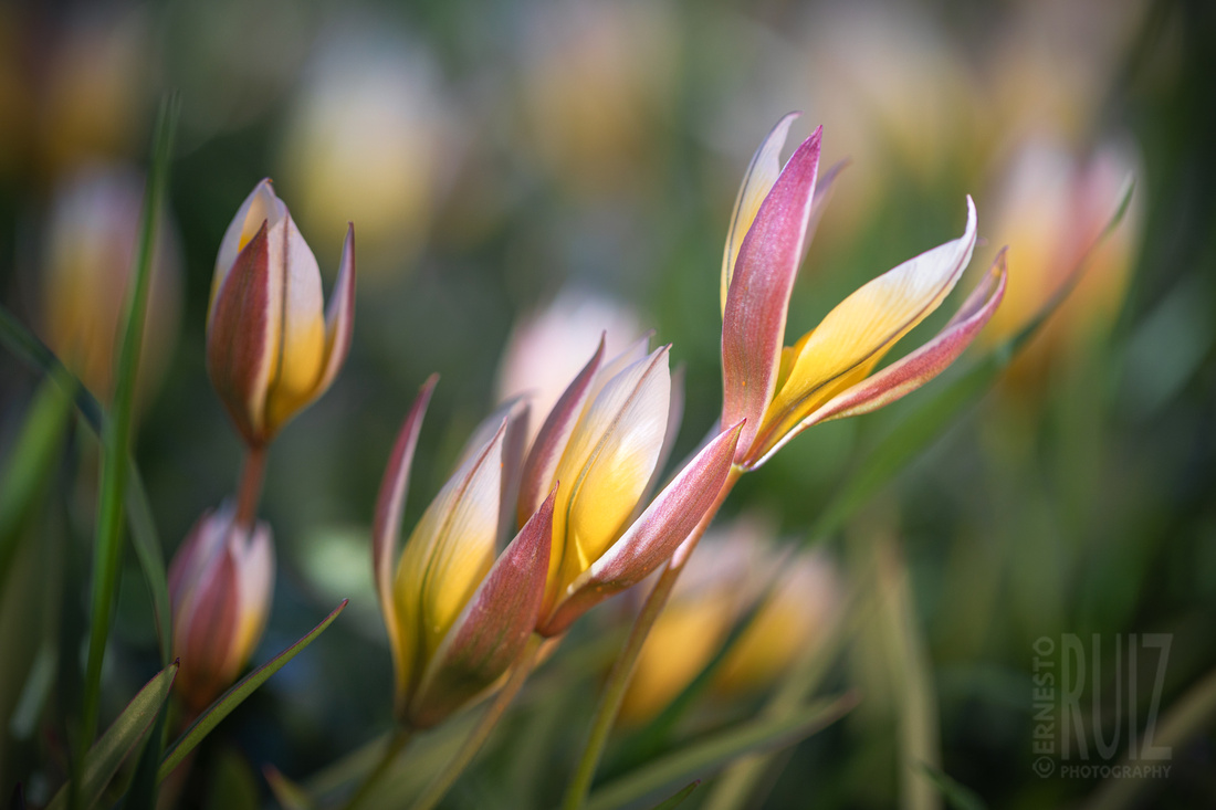 Golden Charm Tulip Trio