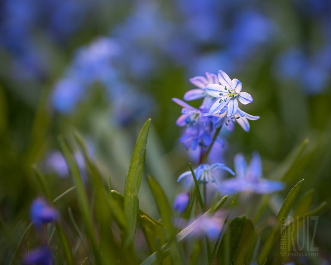 Standout Squill