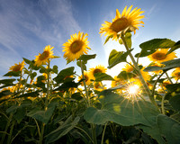 Sun Rays and Sunflowers
