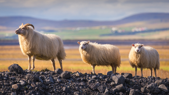 Icelandic Sheep Trio