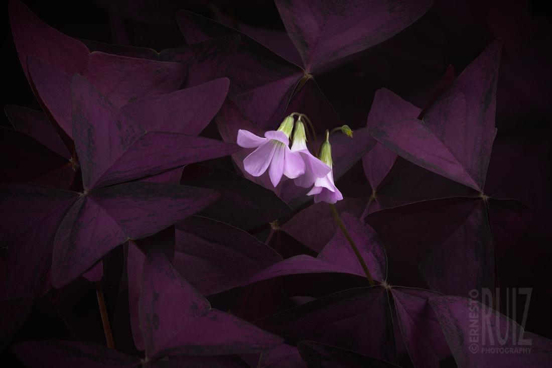 Oxalis Bloom